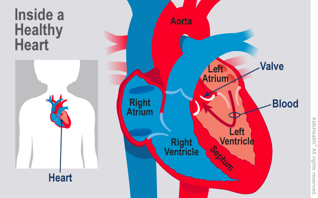 Diagram shows the inside of a healthy heart. There is no opening in the septum between the atria. Oxygenated blood flows to the body.