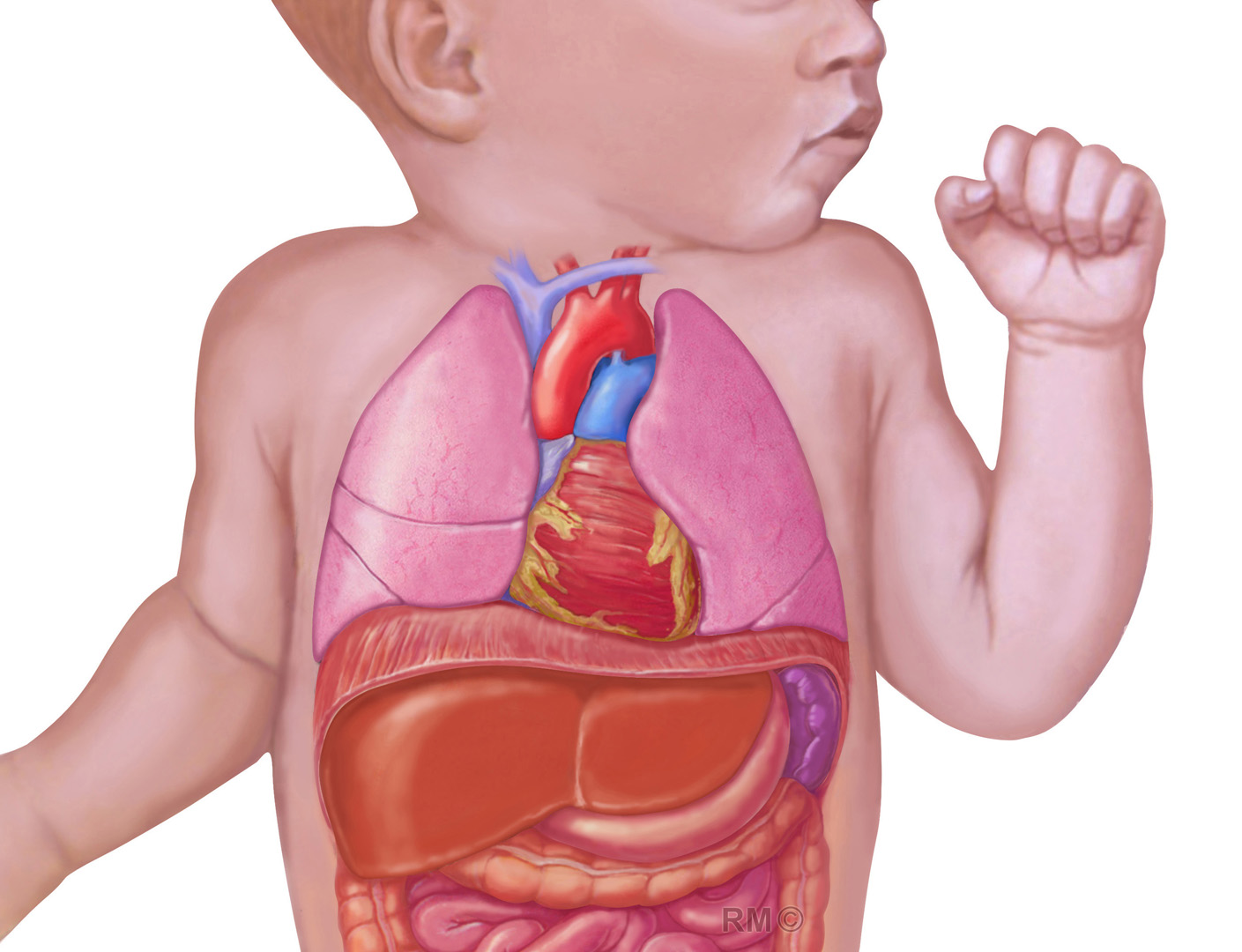 Illustration showing the organ arrangement of a normal healthy infant